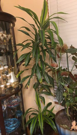 Huge and tall dracaena house plant in the new durable pot, see all pictures for Sale in Aurora, CO