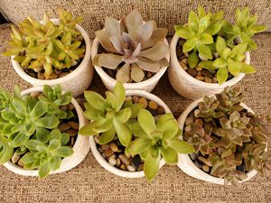 Succulents for Sale in North Las Vegas, NV