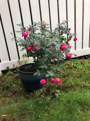 Knock out rose and pot for Sale in Brooklyn, NY