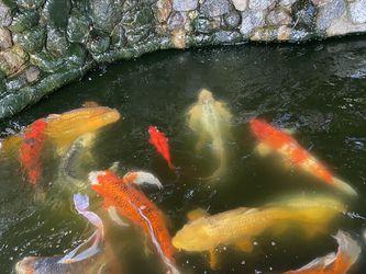 Koi Fish for Sale in Huntington Beach,  CA