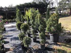 Cone and spiral topiary sale for Sale in Four Corners, FL