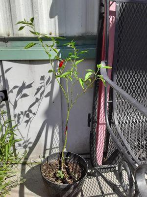 Planta de chile for Sale in La Puente, CA