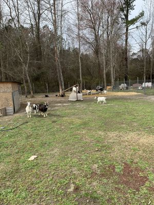 Goats for sale for Sale in Chocowinity, NC