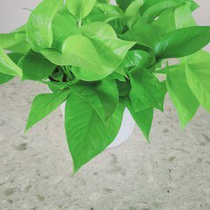 "Neon Pothos House Plant 6"" pot for Sale in Costa Mesa, CA"