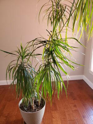 Dracaena reflexa potted Indoor plant 7 ft for Sale in Greer, SC