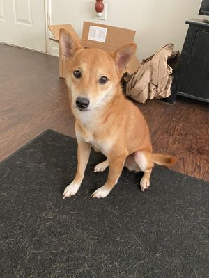 Shiba inu for Sale in Tyler, TX