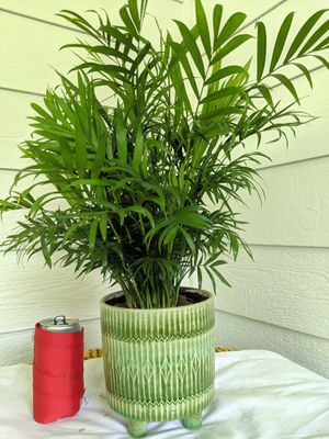 Parlor Palm Plants in 4-Leg Ceramic Planter Pot- Real Indoor House Plant for Sale in Auburn, WA