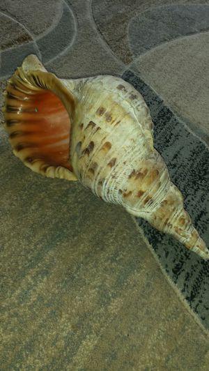 """16"""" Seashell for Sale in Fairfax, VA"""