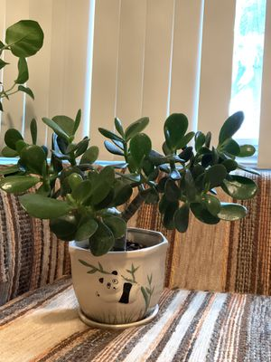 Lucky Jade Plant for Sale in Anaheim, CA