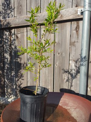 Pomegranate plant 2 ft 2 yrs old for Sale in US