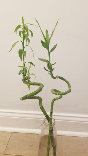2 house plants bamboos for Sale in McLean, VA