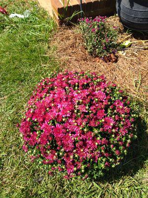 Garden mum purple for Sale in Moore, SC