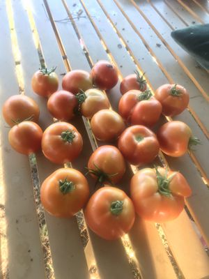 Organic home grown tomatoes for Sale in Chino Hills, CA