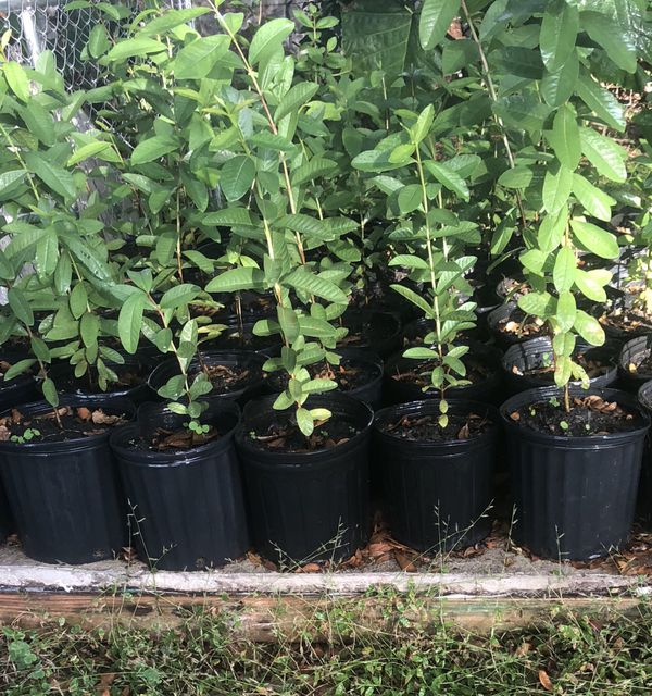 Organic pink guava trees for sale