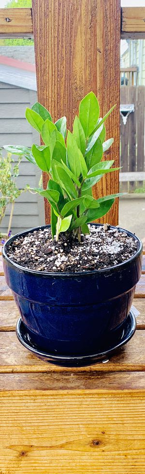 Live indoor ZZ house plant in a ceramic planter flower pot with base attached—firm price for Sale in Tukwila, WA