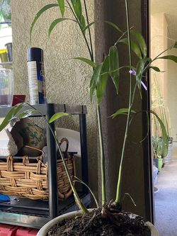 Bamboos Palms (chamaedorea Seifrizil ) 2.5ft for Sale in Canyon Country,  CA