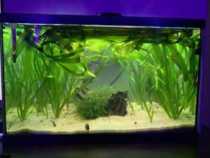 Aquarium plants. Jungle Val (fast growing thick plant) for Sale in Vallejo, CA