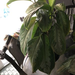 House plant 1 for Sale in Aurora, CO
