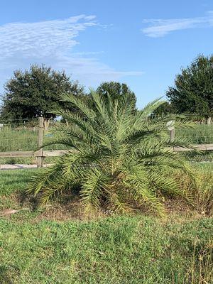 Palm tree field grown 🌴 for Sale in Miami Gardens, FL