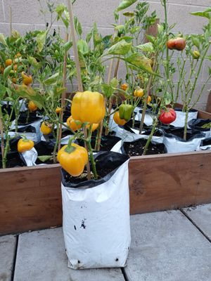 Orange Bell Pepper plant, in 1 gallon, 14 inches tall for Sale in Ontario, CA