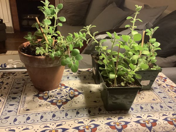 Vick's Plant (Plectranthus Tormentosa)