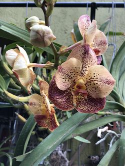 Blooming Vanda Sasha Gold Orchid for Sale in Fort Lauderdale,  FL