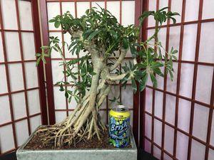 Bonsai: Schlefera, medium size, heavy for Sale in Malden, MA