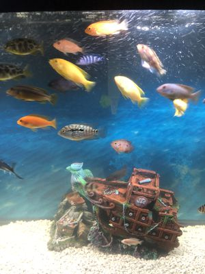 African C ichlids for Sale in San Ramon, CA