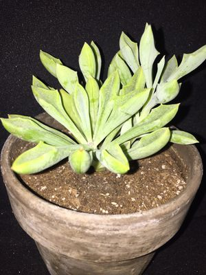 Smart Plant Succulent House Plant - Drought Friendly - Charcoal Pot for Sale in Denver, CO