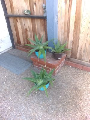4 aloe plants for Sale in Union City, CA