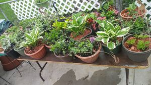 Perennial Plants $5 and up for Sale in Warren, MI