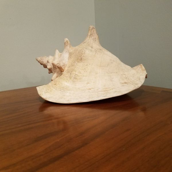Large 10 Inch Queen Conch Shell