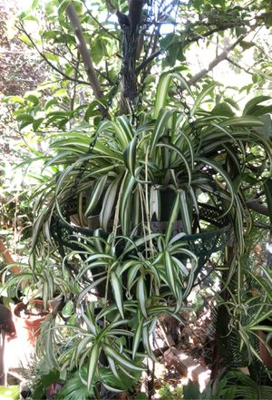 Really big spider Plant for Sale in Fresno, CA