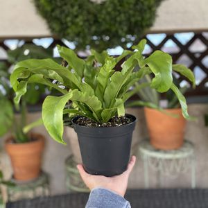 Bird's Nest Fern Plant for Sale in Midway City, CA