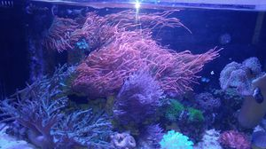 saltwater corals for Sale in Glendale, AZ