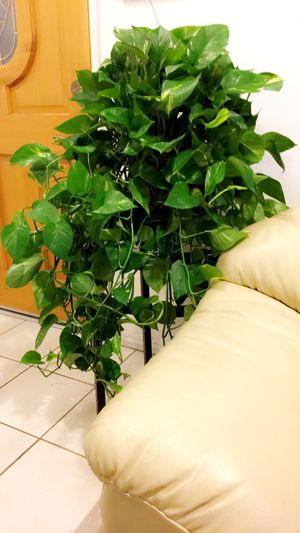 This Wide🌱Healthy 🌱Fresh🌱Beautiful Golden Pothos Will Bring More Fresh Air To Your Home - Plant only - PLANTER IS NOT INCLUDED for Sale in Santa Ana, CA