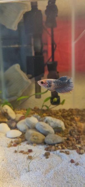 Female Betta Fish for Sale in Costa Mesa, CA