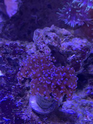 Brown/Purple Frogspawn Frag for Sale in San Diego, CA