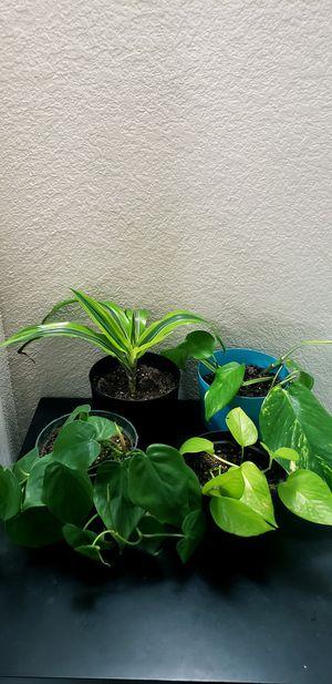 4 live plants in 6 inch diameter pots for Sale in Chandler, AZ