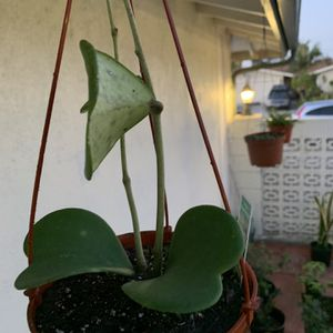 Hoya Sweetheart with 2 Long Stem In A Hanger Pot for Sale in Fountain Valley, CA