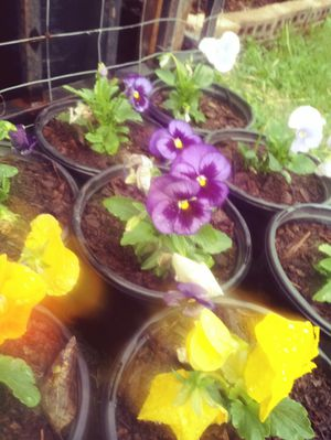 Pansy swiss gaint mix flowers 1 gallon pots $2 each for Sale in Houston, TX