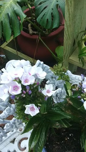 Old Blue Phlox un Terraglazed Pot for Sale in Kissimmee, FL