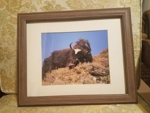 Yak Picture framed for Sale in Selkirk, NY