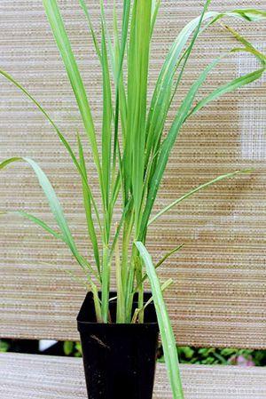 Lemongrass plant for Sale in Port St. Lucie, FL