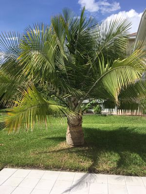 FREE!!! Palm & Mango & Avacado Tree with your removal! for Sale in Cape Coral, FL