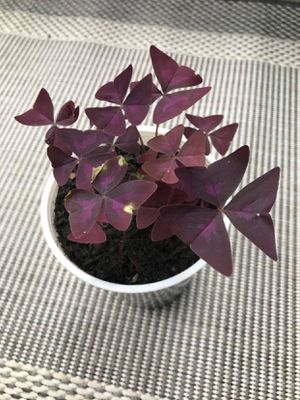 Shamrock Oxalis Beautifule l outdoor and indoor plants $5 each for Sale in Nashville, TN