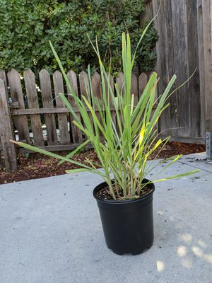 Lemongrass plant for Sale in Mountain View, CA