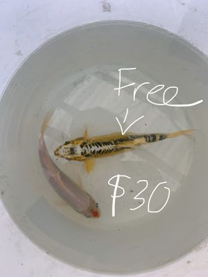 Two koifish for aquarium for Sale in Anaheim, CA