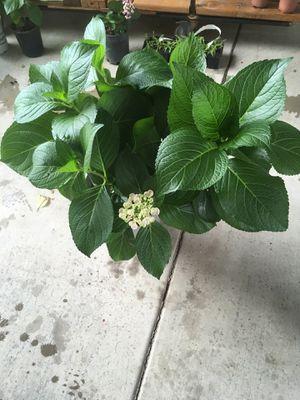 Ortencia plant for Sale in Fresno, CA