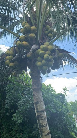 Bendo cocos en Tampa Clearwater 2 dólares for Sale in Clearwater, FL
